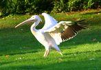 Pelikan im Grugapark Essen