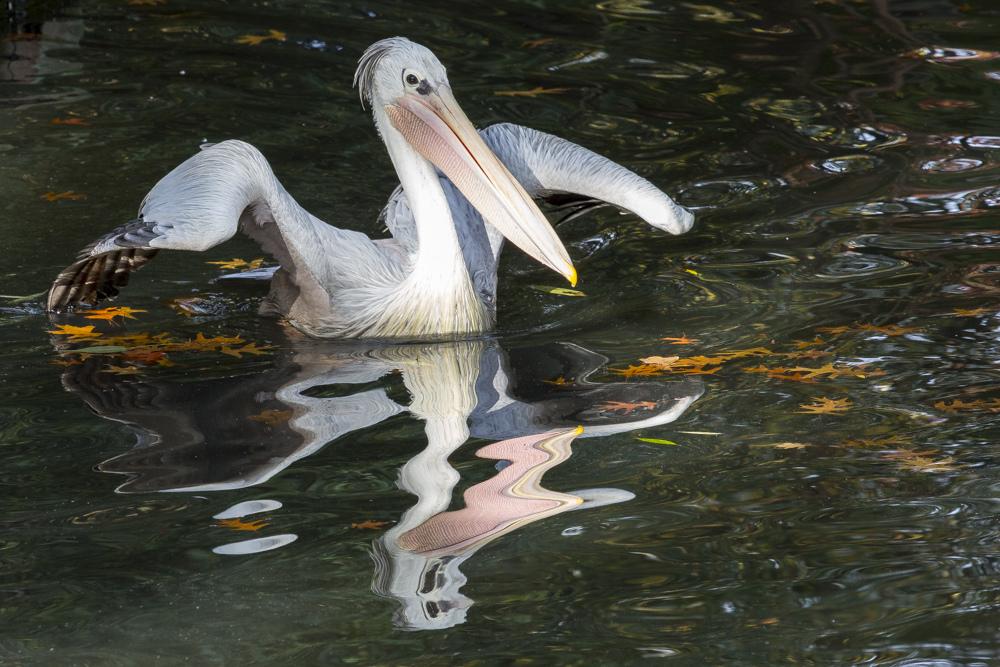 Pelikan im Herbst