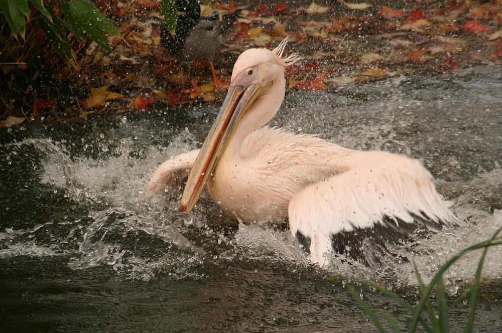 Pelikan im Kölner Zoo (4)