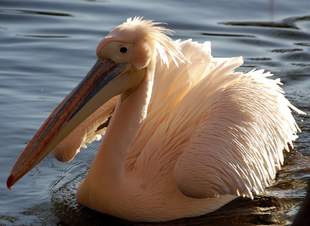 Pelikan im Luisenpark Mannheim 2