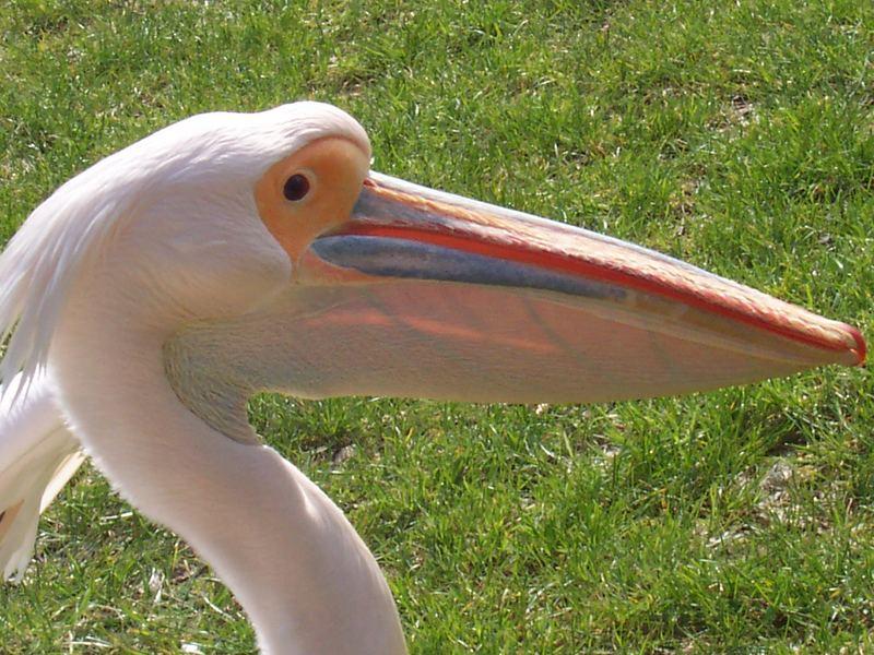 Pelikan im sonnigen April