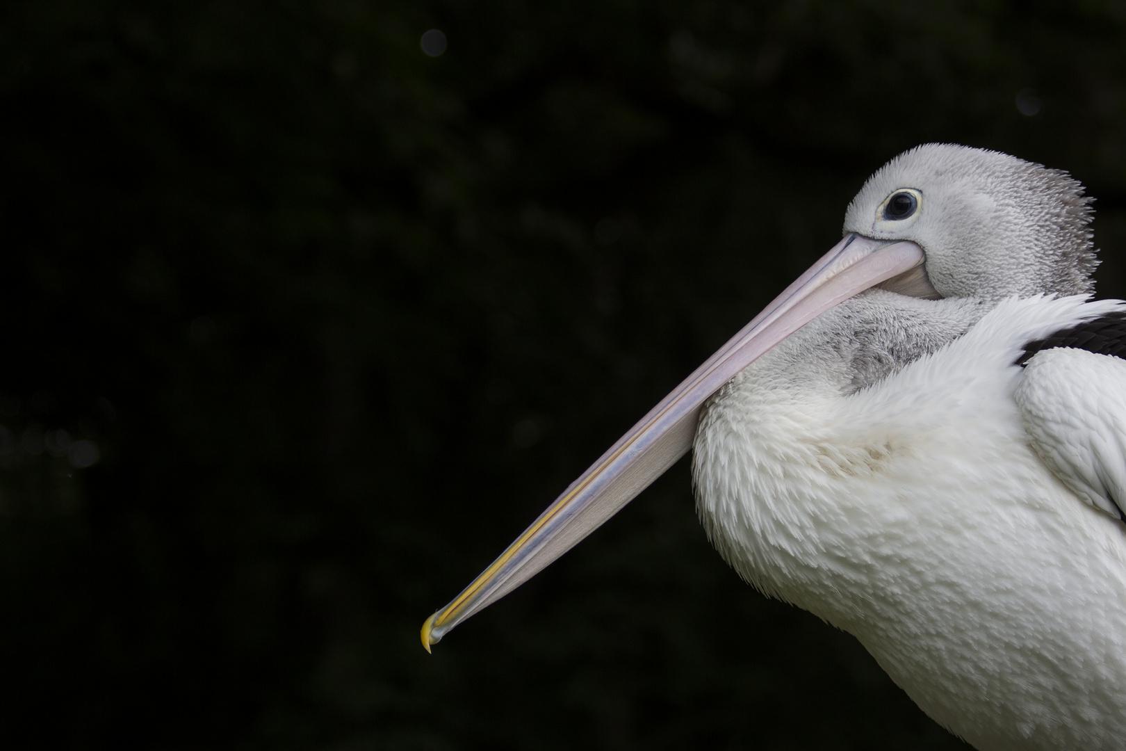 Pelikan im Tierpark Berlin