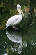 Pelikan im Zoo Leipzig