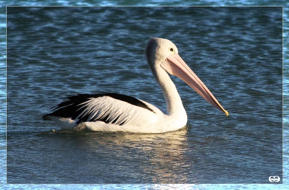 Pelikan in der Abendsonne