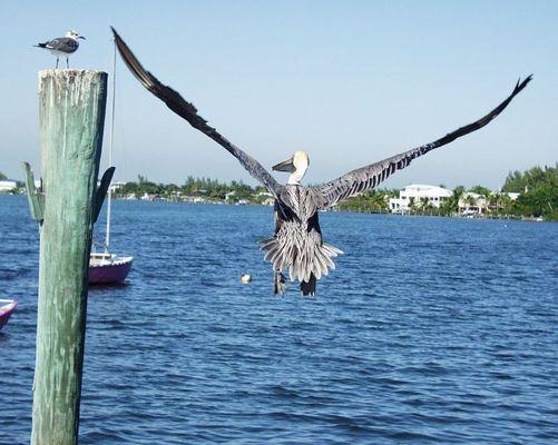 Pelikan in Key Lago Fl.