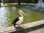 Pelikan in Pose