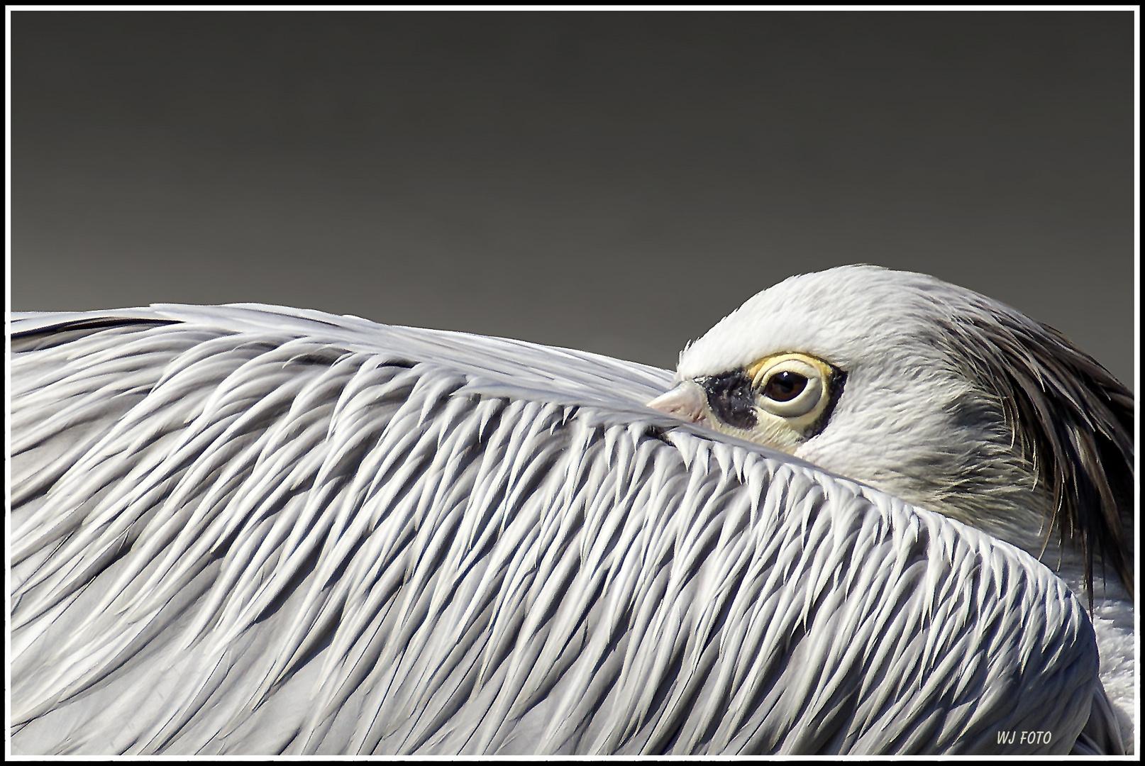 Pelikan in Ruhestellung