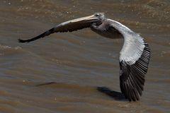 Pelikan kurz vor Wasserlandung