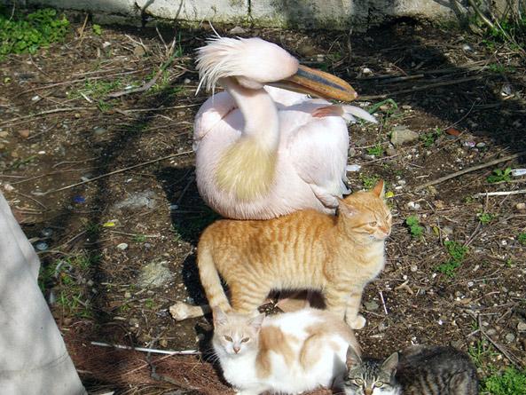 Pelikan mit Gespielen