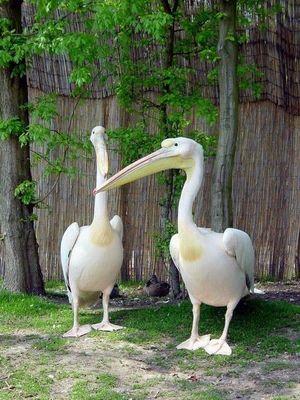 Pelikan Pärchen