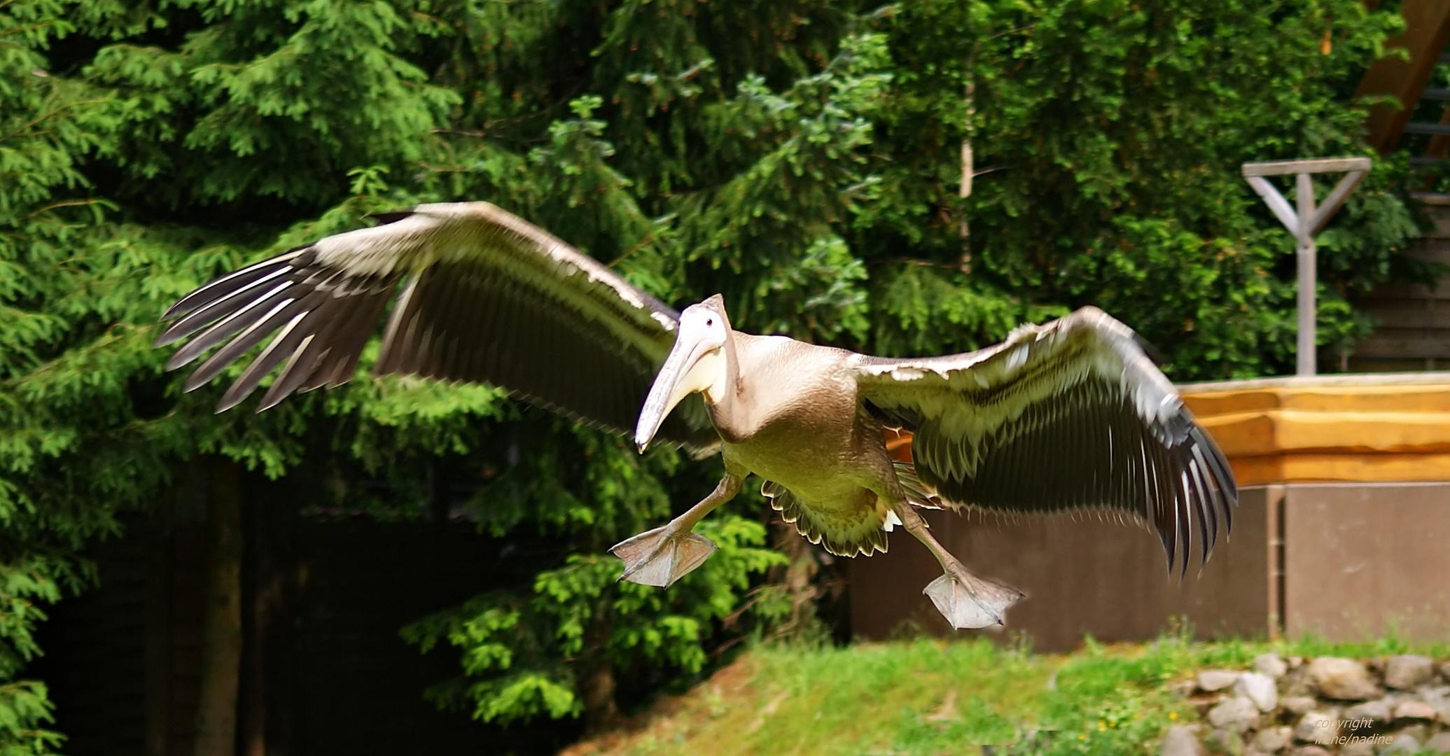 Pelikan PAULA´s Freiflug