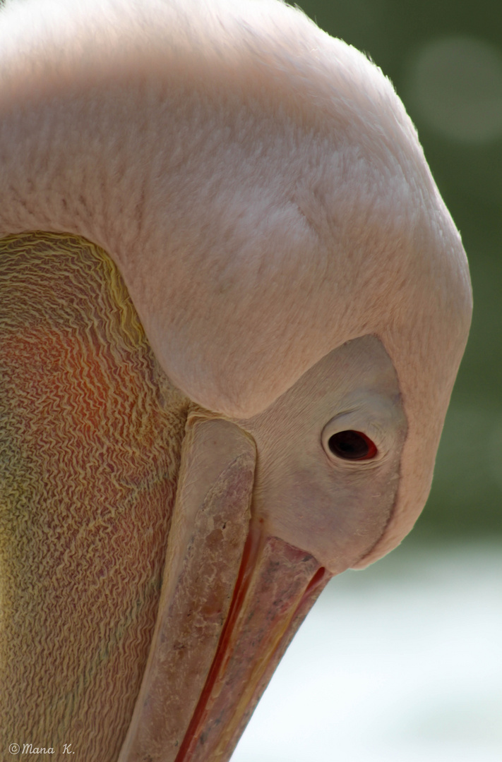 Pelikan - Portrait