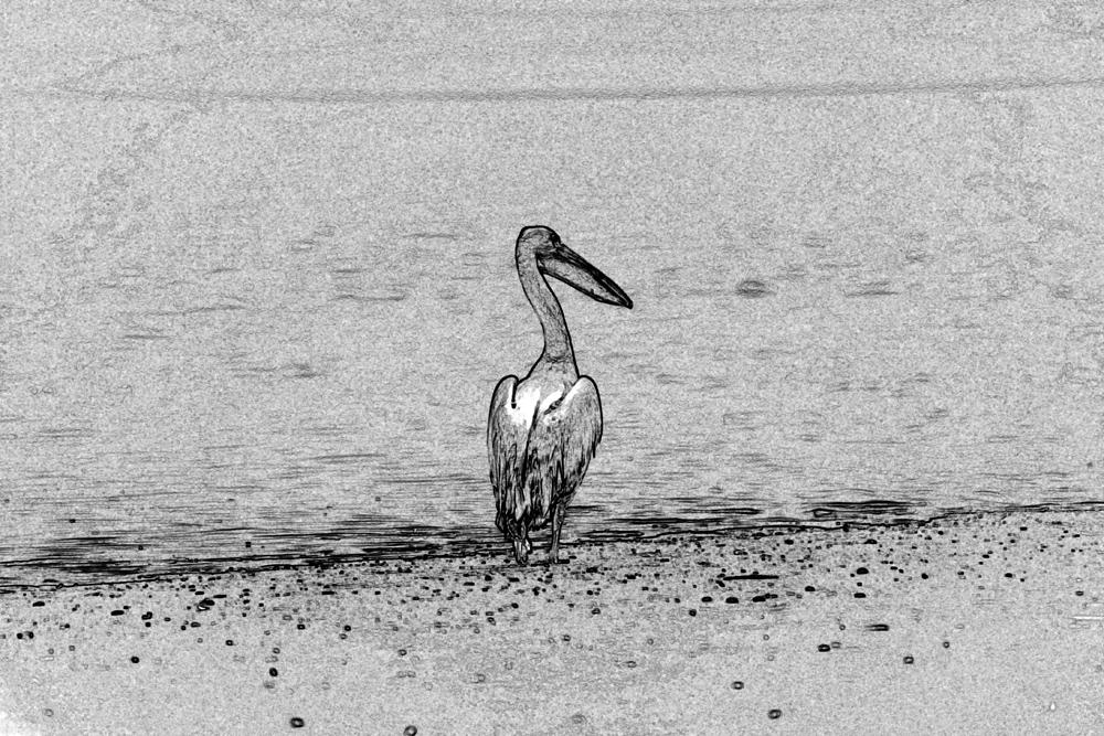 Pelikan schwarz weiß