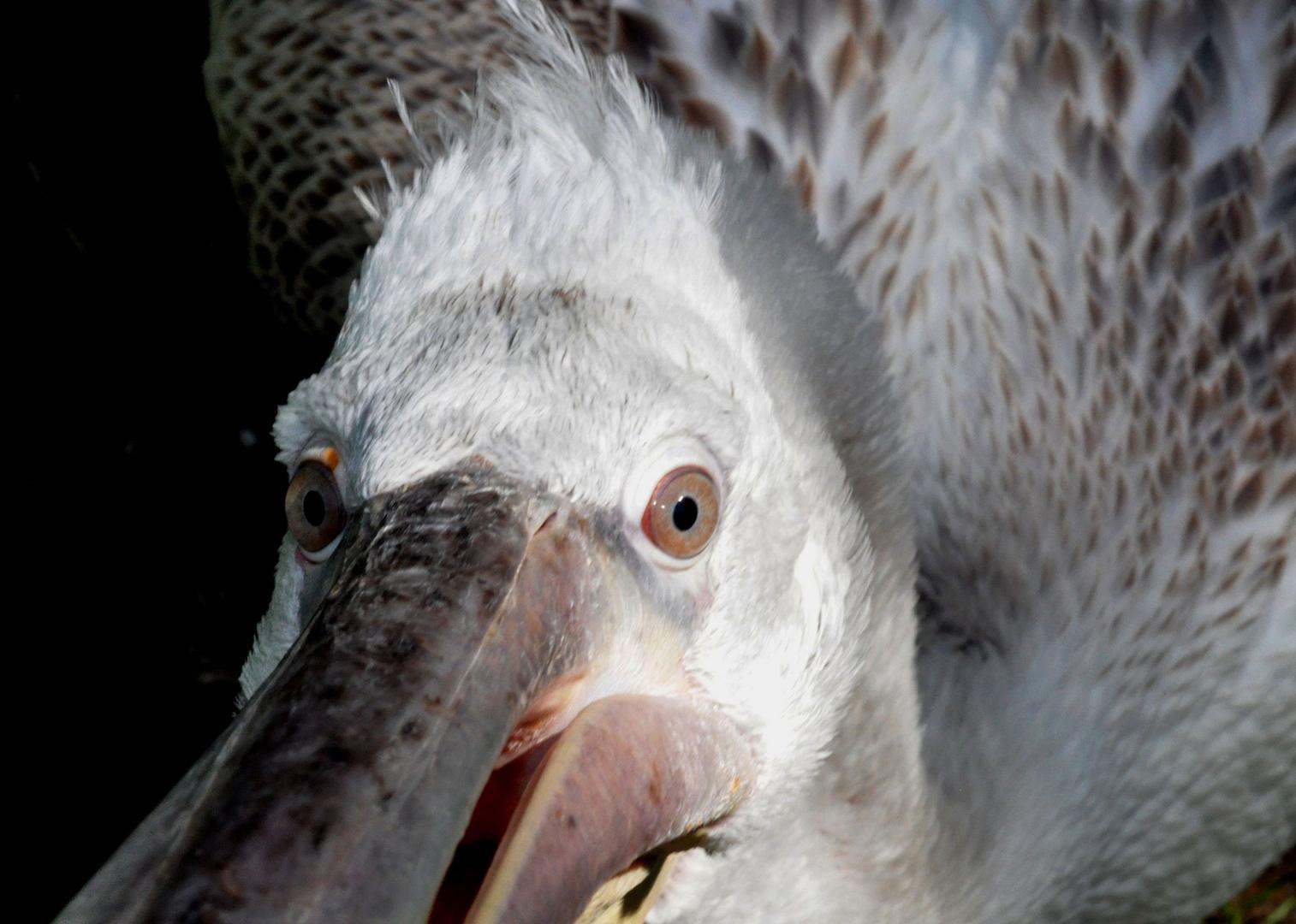 Pelikan - sehr neugierig