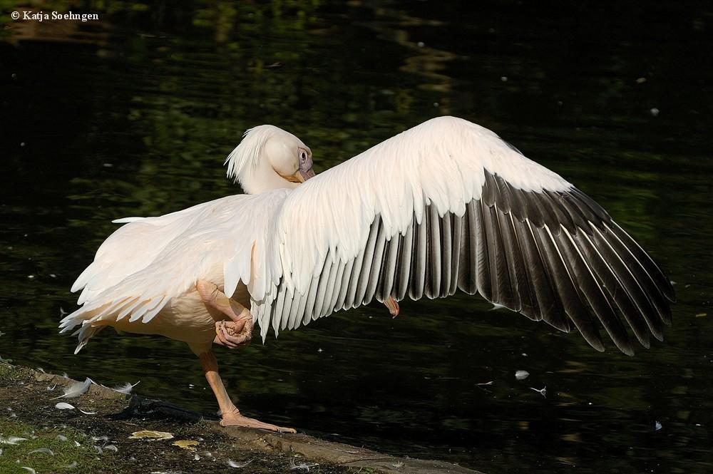 Pelikan Tai Chi