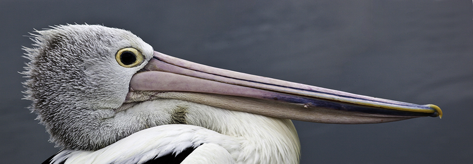 Pelikan, Tuncurry, New South Wales, Australien