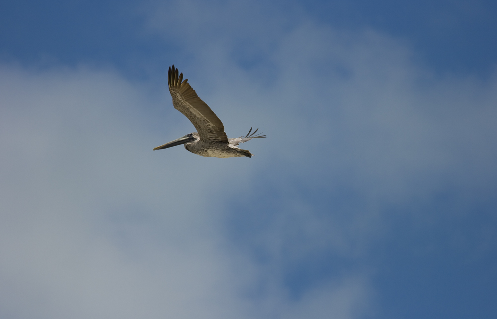 Pelikan über Mexico