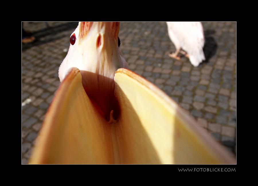 Pelikan von innen