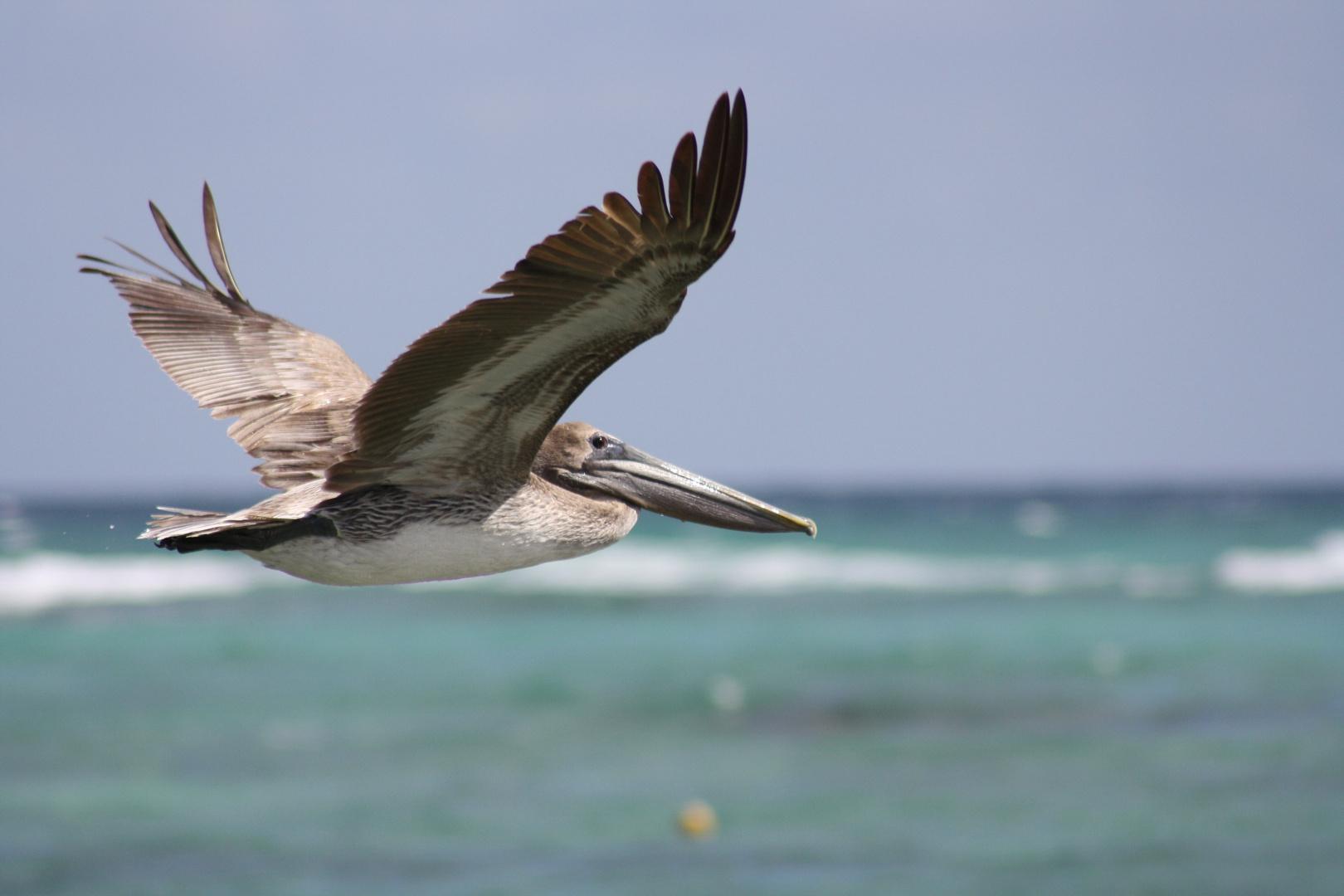 Pelikan von Mexico