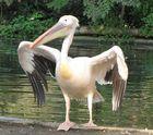 Pelikan vor dem Abflug