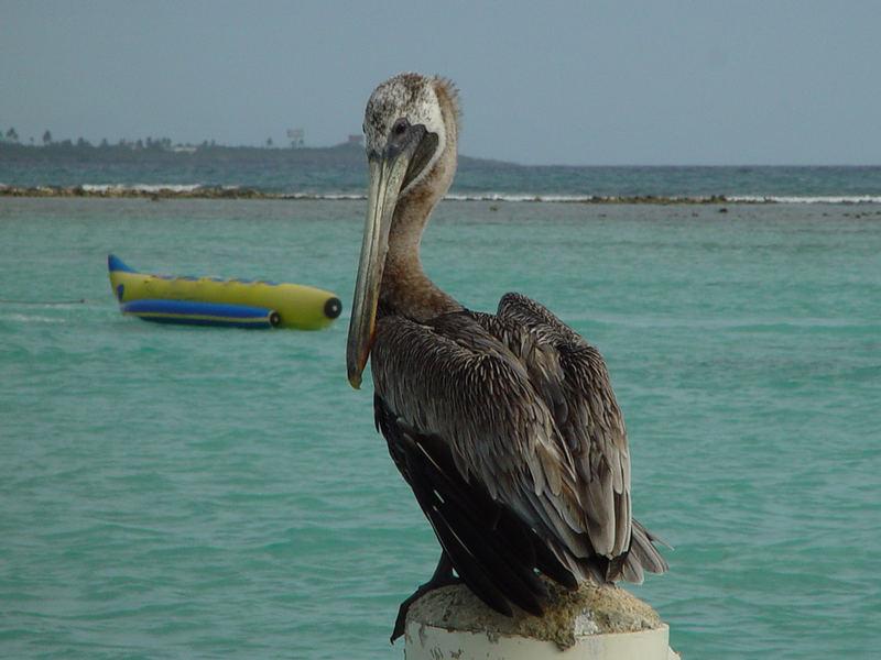 "Pelikan wartet auf ""Banana Boat"""