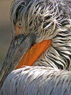 Pelikan01