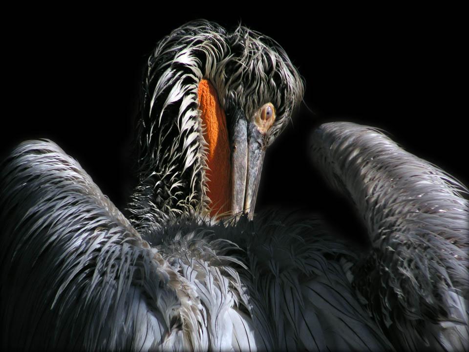 Pelikan03
