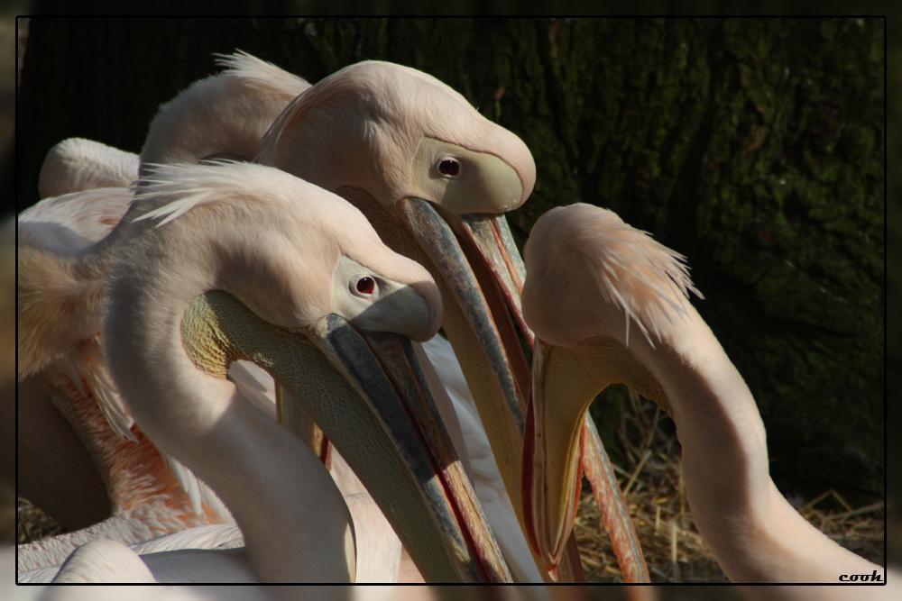 Pelikane 1