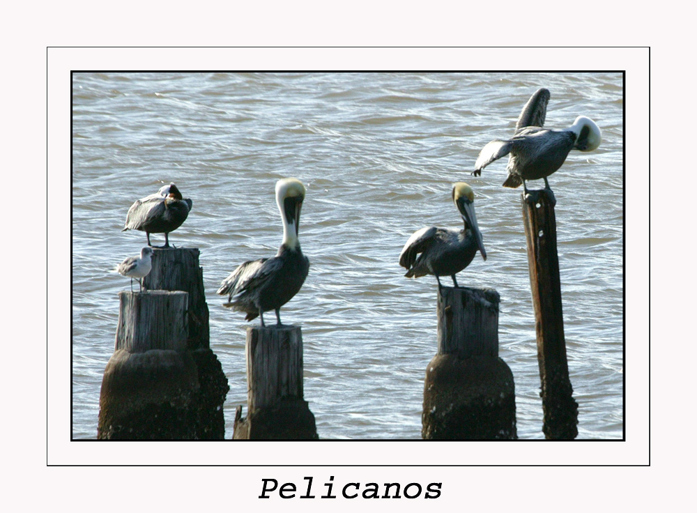 Pelikane....