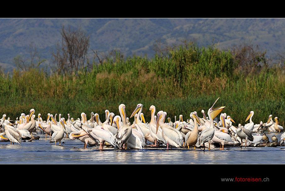 Pelikane am Lake Chamo