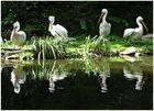Pelikane ....