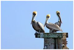 Pelikane bei 35 ° C....