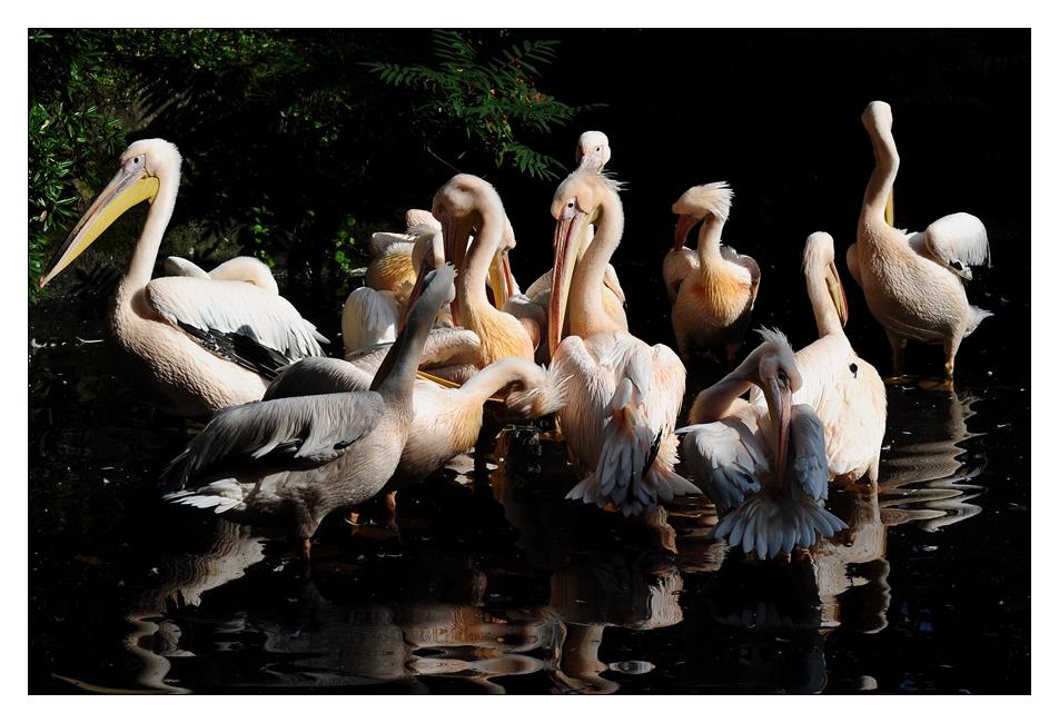 Pelikane bei Hagenbeck