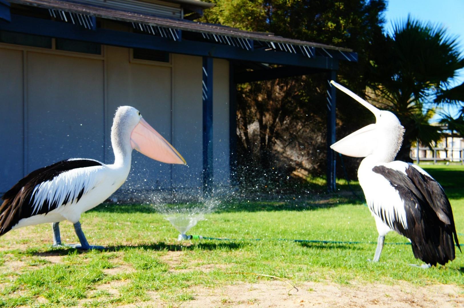 Pelikane beim Duschen