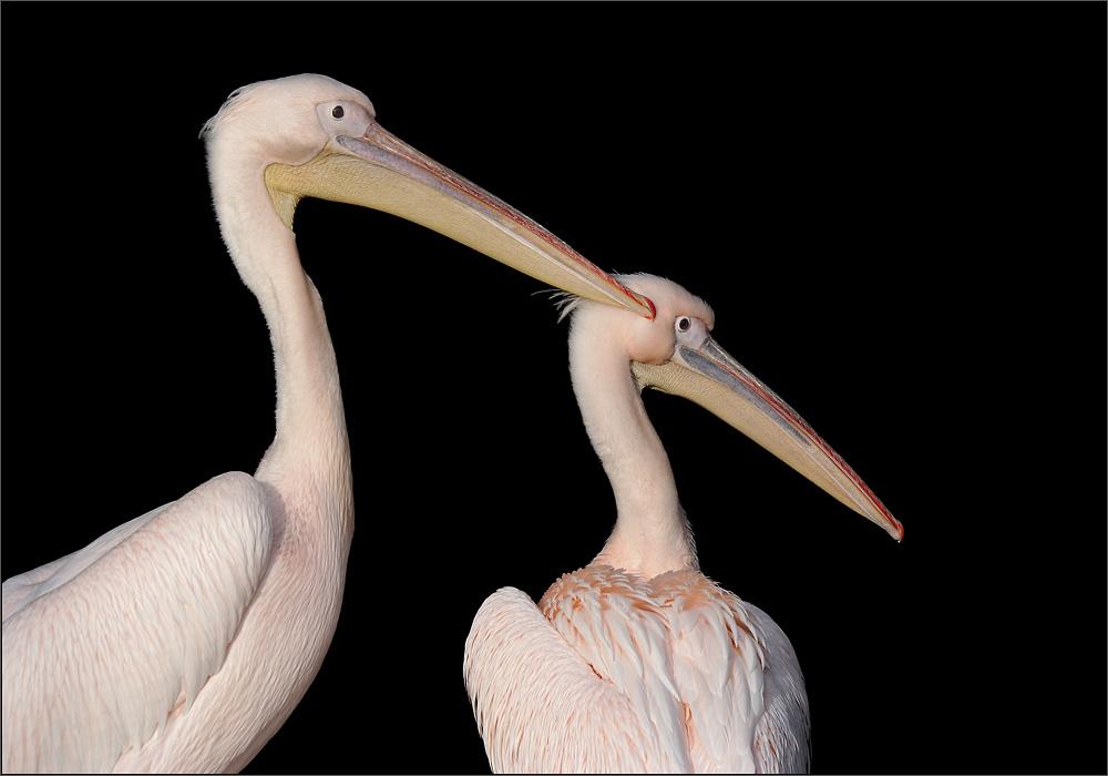 Pelikane......