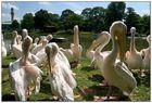 Pelikane im Karlsruher Stadtgarten