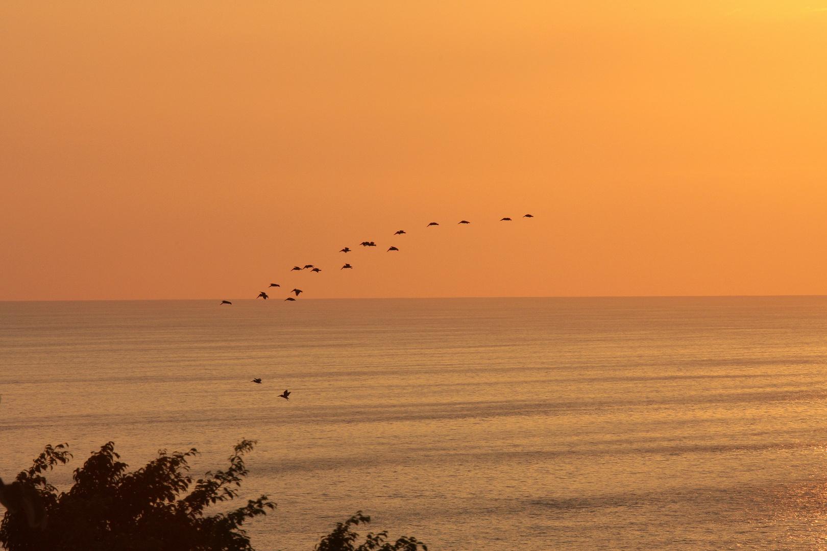 Pelikane im Licht des beginnenden Sonnenunterganges auf dem Rückflug zu den Schlafplätzen