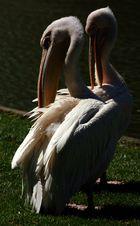 Pelikane im Zoo Karlsruhe