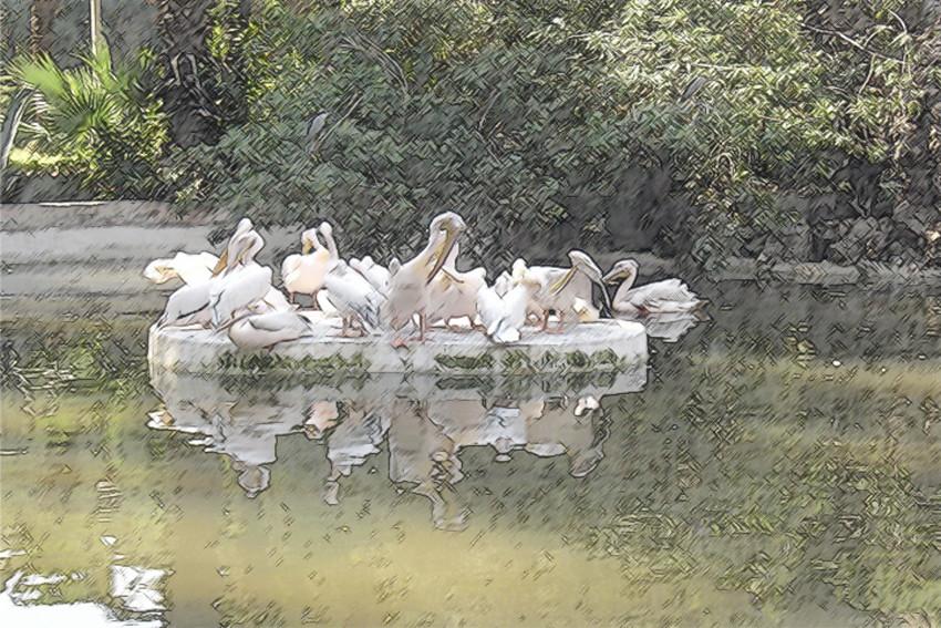 Pelikane im Zoo von Kairo