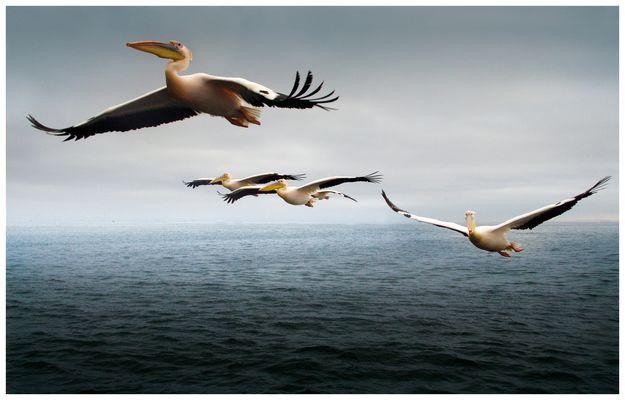 Pelikane in Afrika