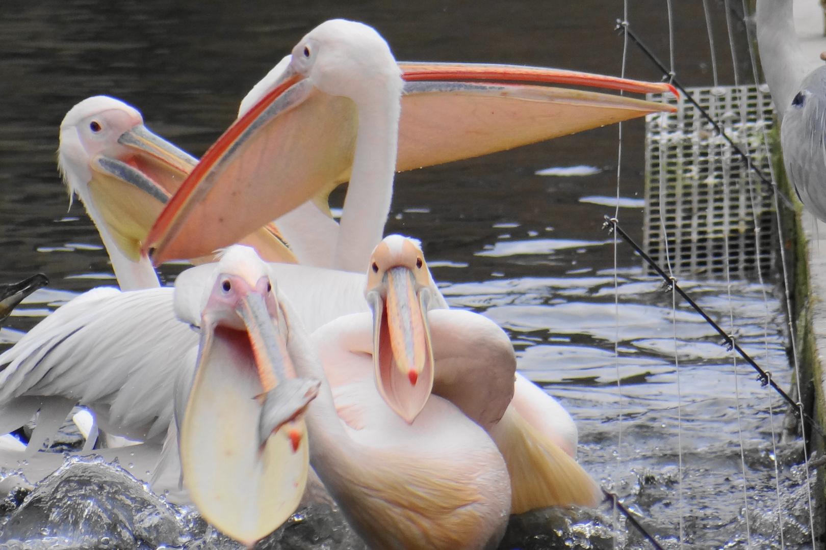 Pelikane in Wilhelma Stuttgart