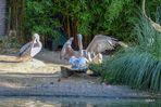 Pelikane Liebesspiel?