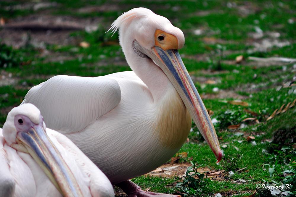 Pelikane mit farbenprächtigem Schnabel - Zoo Krefeld