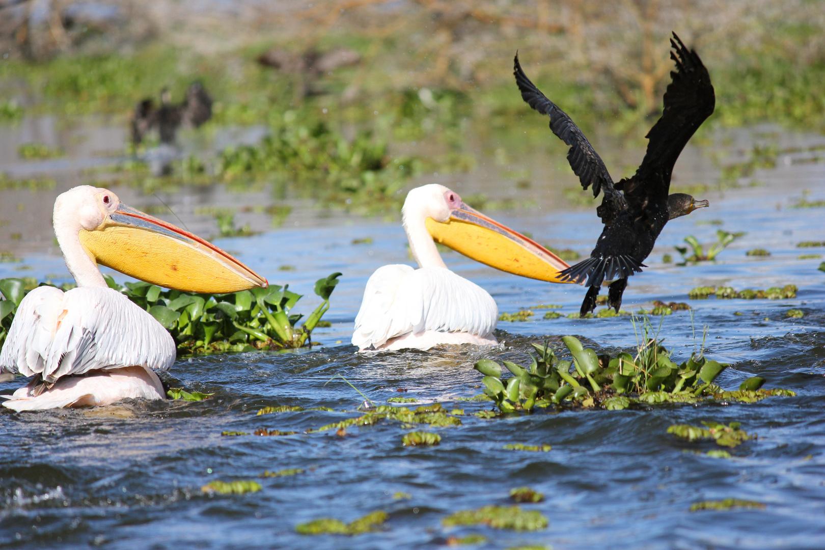 Pelikane Nakuru NP