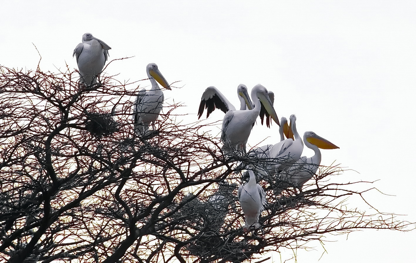 Pelikane - Seltene Besucher in Shaba