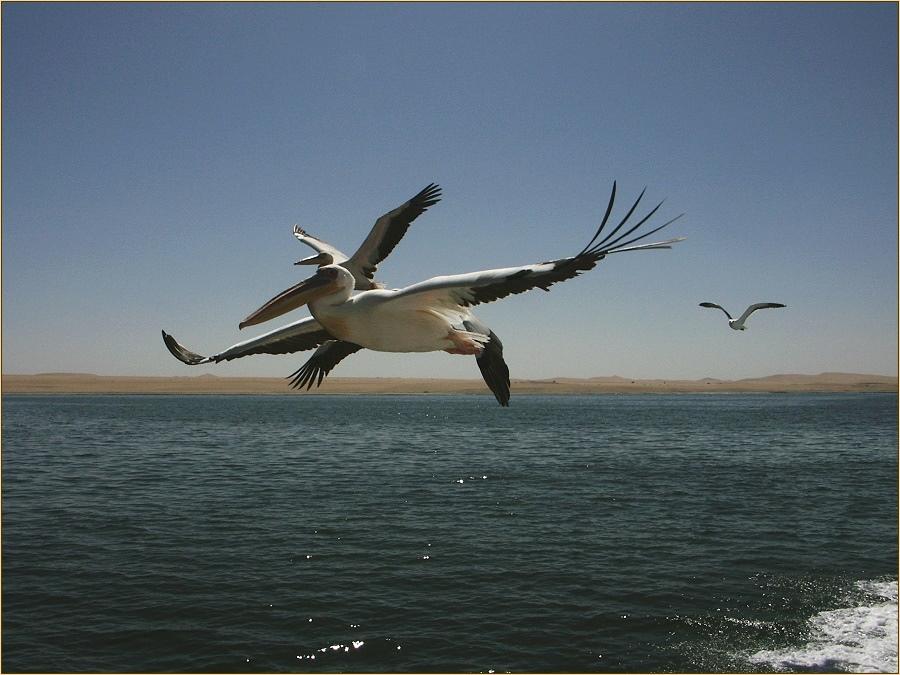 """Pelikane - Walvis bay"""