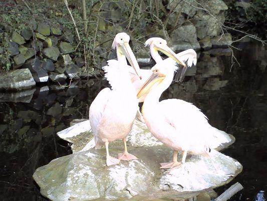 Pelikanfamily