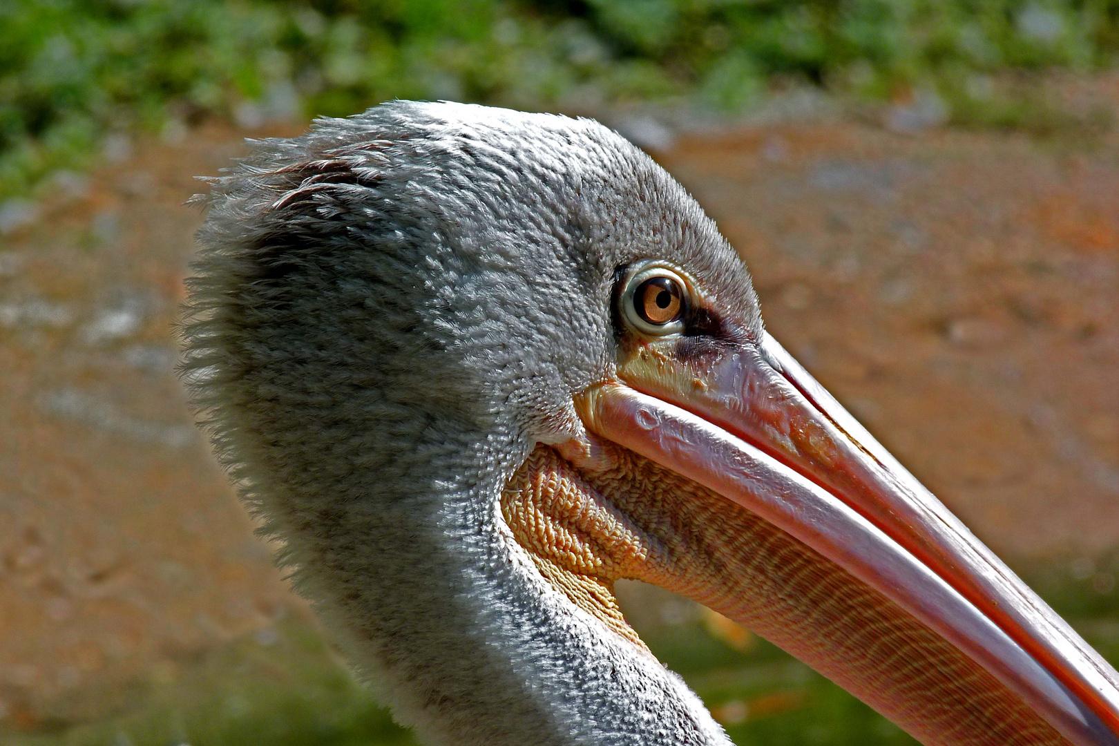 Pelikankopf (Neuwieder Zoo)