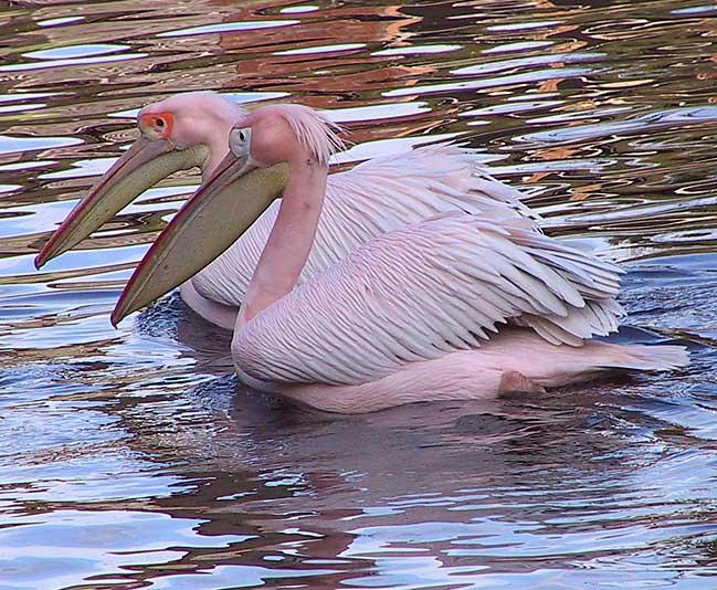 Pelikanpaar