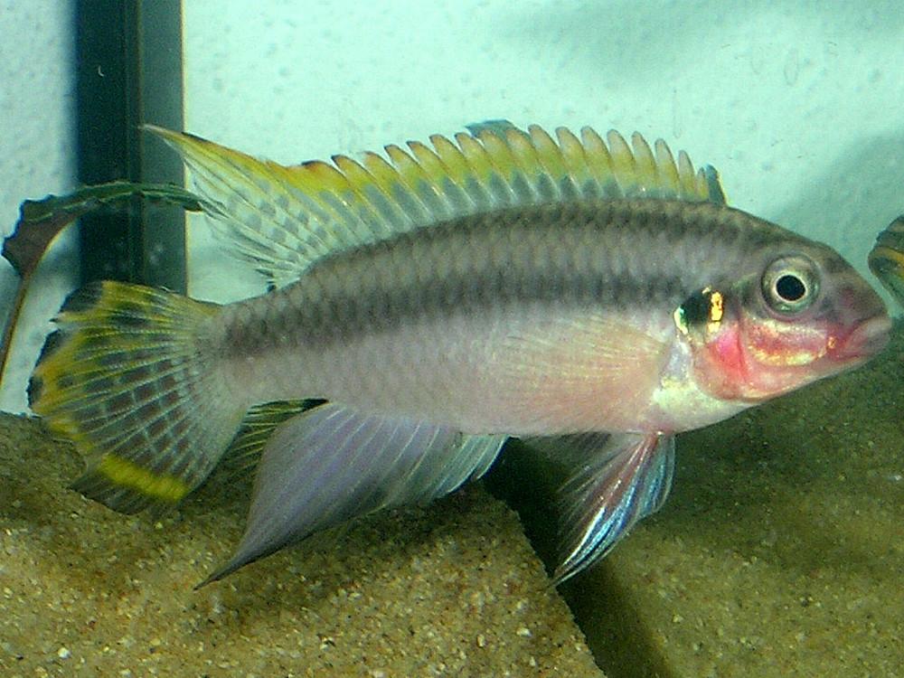 Pelvicachromis taeniatus - Smaragdprachtbarsch